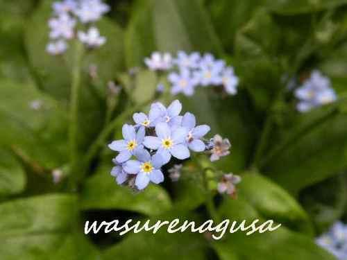 Wasurenagusa